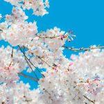 都内の花見に車で移動する場合はドライバーズ東京の運転代行サービスをご利用ください