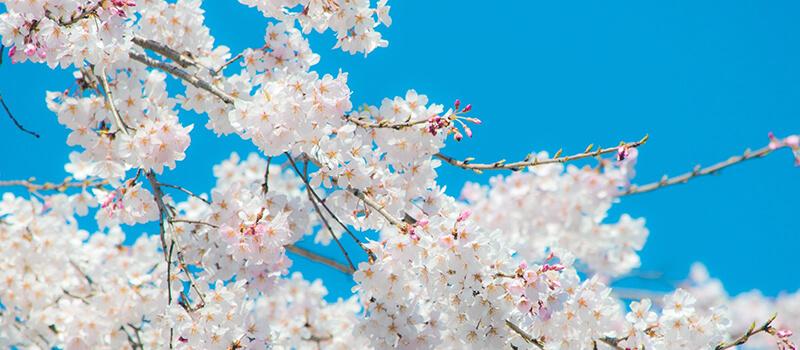青空に映えるソメイヨシノの花びら
